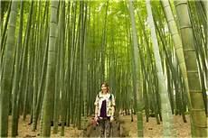 Bambus Ogromny Mao Phyllostachys Pubescens Moso Bambus