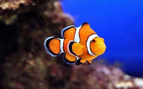 Clown Fish Hd Wallpaper