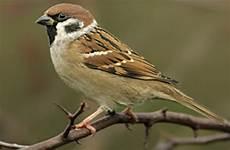 Begini Cara Membedakan Jenis Burung Gereja Jantan Dan Betina