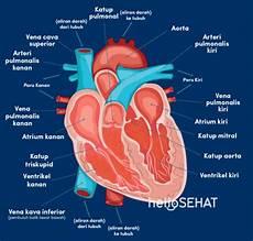 Mengulas Anatomi Jantung Mulai Dari Bagian Hingga