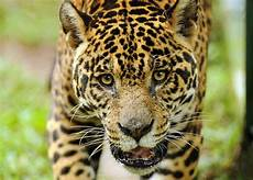 to save a predator a history of human jaguar conflict in