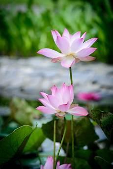 fior di lotto best fiore di loto sfondo iphone sfondo