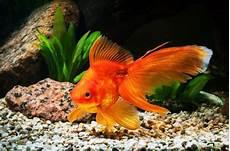 Gambar Ikan Cupang Gambar Ikan Hias Koi