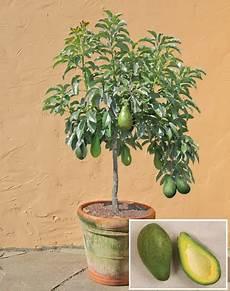 2 Avocado Seed Enano Tree Free Shipping
