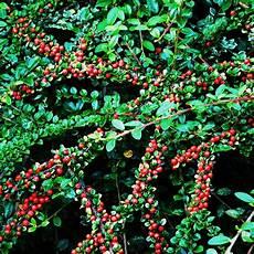 cotoneaster dammeri arbustes couvre sol persistant
