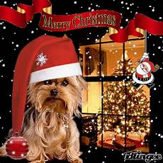 yorkies his hapiness picture 127392503 blingee com