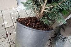 nordmanntanne im topf gewachsen weihnachtsbaum ideal zum