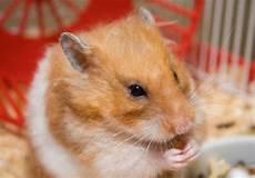 die beliebtesten haustiere wissen 252 ber haustiere mein hamster
