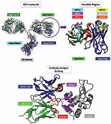 antibody structure and binding the most common form of an
