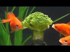 how to feed your fish broccoli