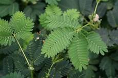mimose pflanze kaufen gartenpflanzen kaufen zartes balkan windr 246 schen und