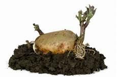 kartoffeln pflanzen 187 antworten auf alle fragen