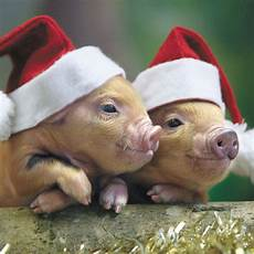santa piglets merry christmas and a healthy happy 2014 to all of my fellow pinteresters