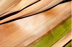 kentia palme braune blätter kentia palme bekommt braune bl 228 tter 187 woran liegt s