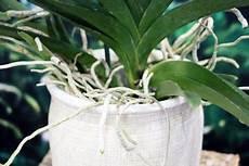 orchideen schneiden wie umgehen mit wurzeln luftwurzeln
