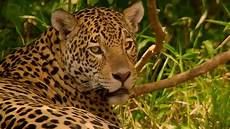 jaguar mating brazil earth youtube