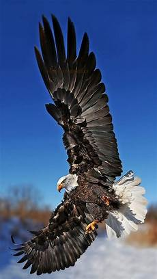 iphone black eagle wallpaper hd eagle bird collection of animals wallpapers for