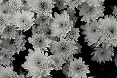 fiori in bianco e nero fiore in bianco e nero foto immagini piante fiori e