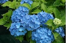 Nos Hortensias Hydrangea Boules 224 Fleurs Plates
