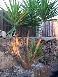 Yucca Palmen Vermehren Das Portugalforum