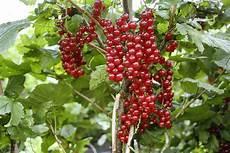 johannisbeeren pflanzen kaufen johannisbeere ribest 174 susette 174 lubera 174 z 252 chtungen 2013