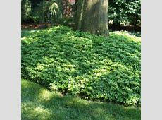 Ground cover Pachysandra   Landscaping around trees