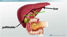 gallbladder diagram the gallbladder liver function in digestion lesson transcript study