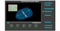 animal cell mitosis
