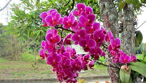 Orkide Thai