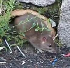Ratten Im Garten Vertreiben Und Bek 228 Mpfen