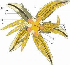 Karakteristik Dan Klasifikasi Echinodermata Tentorku