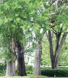 I Need A Fast Growing Shade Tree The Lazy