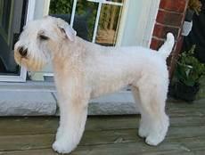 soft coated wheaten terrier haircut photos the soft coated wheaten terrier playful irish ratter