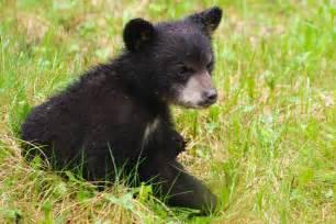 Bear Cub Found Dead