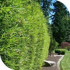 bambou non invasif haie bambous non tracant haie bambou bambou fargesia et