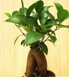 Ficus Ginseng Pflege Gie 223 En Und Schneiden Ficus