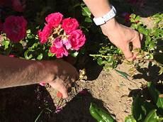 boutures de rosier quand et comment bouturer ses rosiers