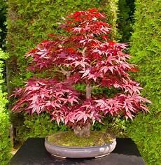 Japanese Maple Quot Artropurpureum Quot Acer Palmatum Bonsai