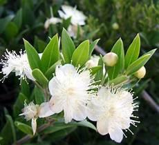 fiori di mirto novembre il mirto grandesud eu