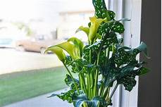 Calla Pflanze Pflege - how to care for potted calla lilies hunker