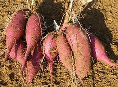 サツマイモ掘り に対する画像結果