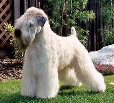 soft coated wheaten terrier haircut dog wheaten soft coated wheaten terrier puppy project