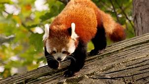 Wallpaper Red Panda Animal Nature Branch Green Fur