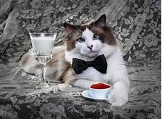 gatti persiani da adottare nomi gatti nobili nomi per gatti
