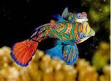 Fish Mandarin Fish Ikan Hias Cantik 4