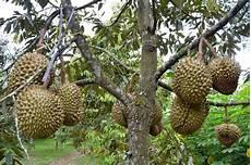 Wisata Kebun Durian Candimulyo Sentra Kebun Durian