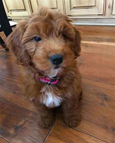 timber creek puppies for sale about mini goldendoodles puppies for sale by timber creek doodles in utah mini goldendoodle