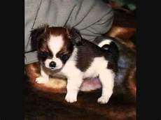chihuahua mix welpen shih tzu chihuahua mix shi chi prettiest puppy mix