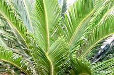 king sago palm plant cycas revoluta how to care indoors