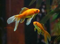 wie findet heraus ob ein goldfisch schwanger ist